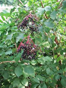 Fekete bodza (Sambuci flos)